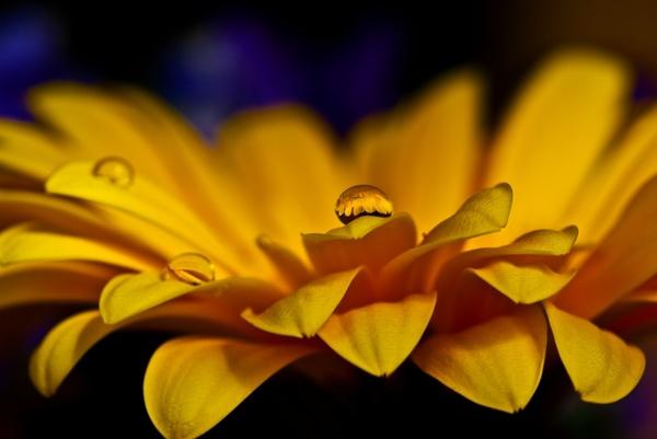 gerbera flower macro