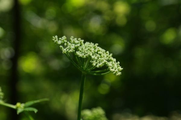 giersch flower umbel