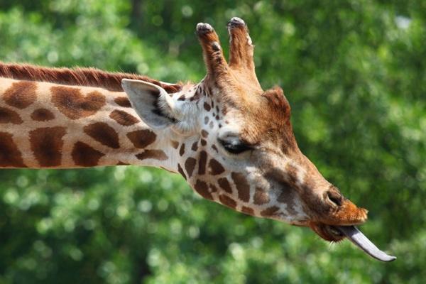 giraffe039s tongue