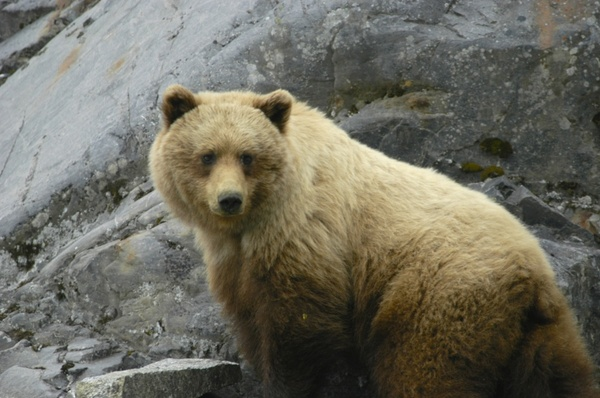 glacier bay alaska brown bear
