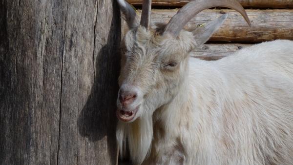 goat goats animal