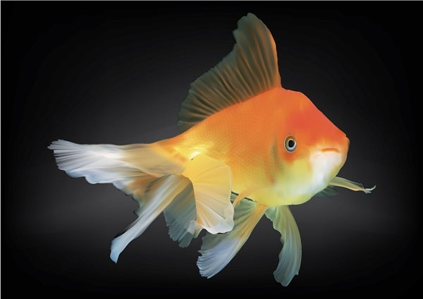 goldfish drawing colored realistic design style