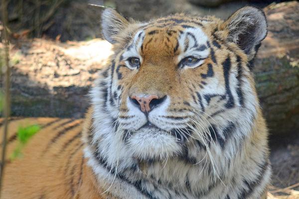 goodbye tiger