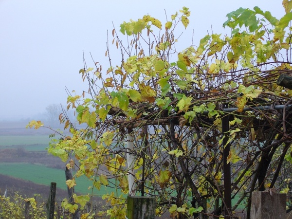 grape bower autumn