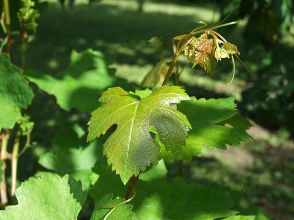 grape grape leaf vine branches