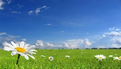 grass sky wild chrysanthemum picture
