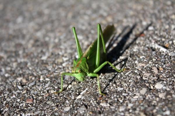 grasshopper insect creature