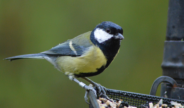 great tit on tray