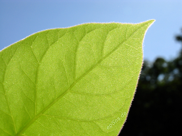 green leaf of a bio plant in nature