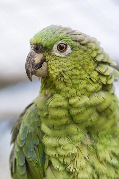 green parrot ii