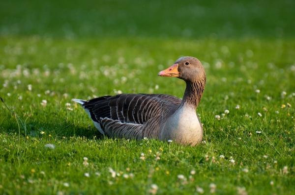 greylag goose goose anser anser