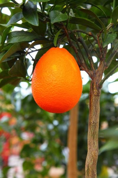 growing orange on tree