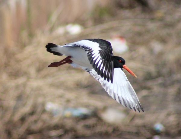 haematopus ostralegus bird flight