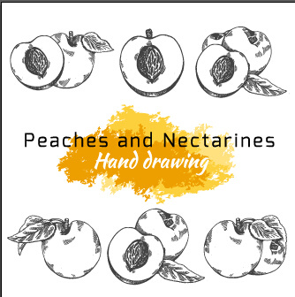 hand drawing peaches and nectarines vector