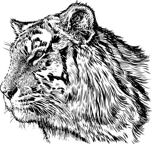 hand drawing tiger vector