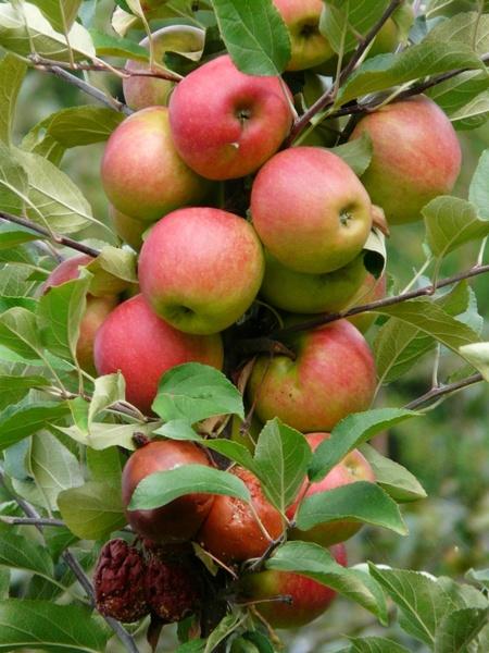 harvest apple ripe