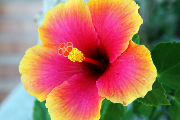 Hibiscus Flower Free Stock Photos In Jpeg Jpg 4752x3168 Format