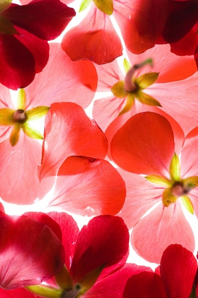 highquality pictures of red flowers background