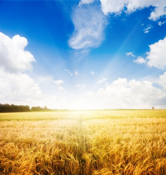 highquality pictures of the wheat fields under the sun