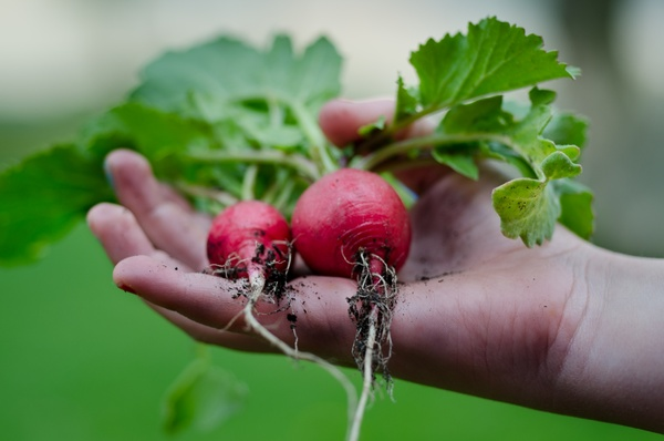 home grown radishes
