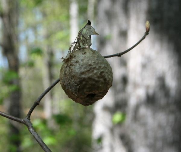 hornet nest bees
