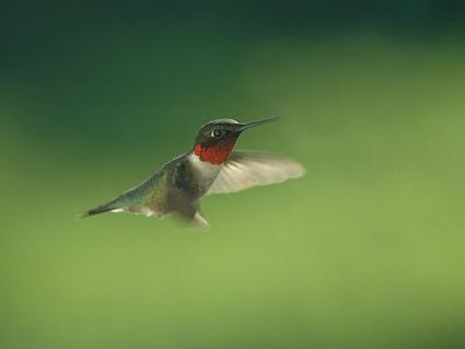 Watercolor hummingbird vector free download.