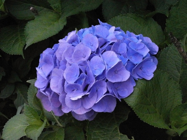 hydrangea summer flowers blue flowers