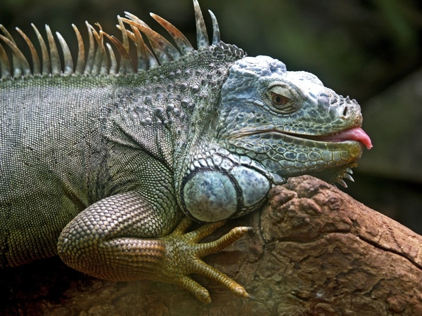 iguana lizard animal