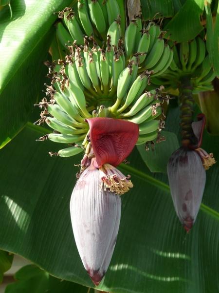Inflorescences Banana Trees Bananas Free Stock Photos In Jpeg Jpg