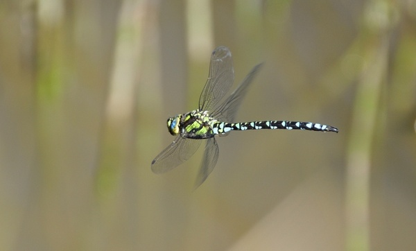 insect dragonfly parthenope