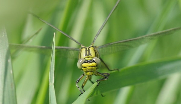 insect dragonfly vulgatissimus