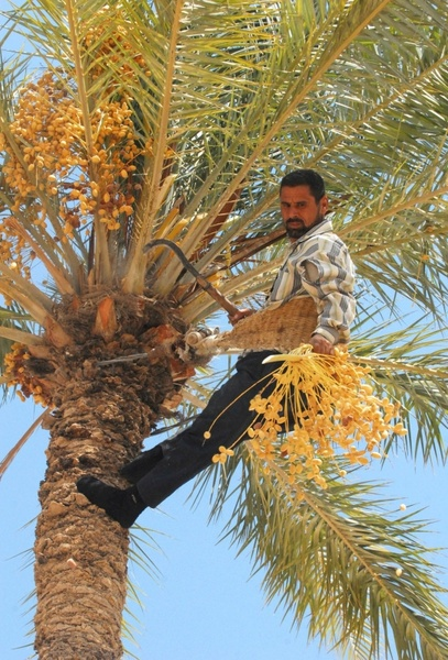 iraq date tree harvesting