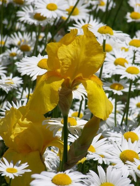 iris and daisies 2