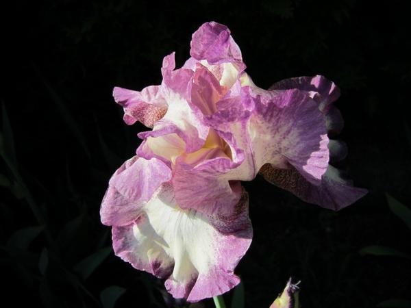 iris summer cape cod