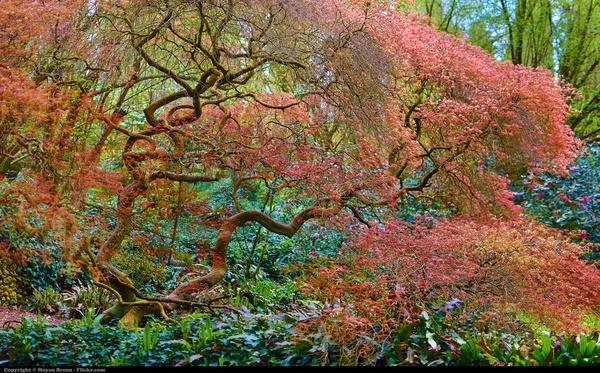 japanese tree inside garden of ninfa