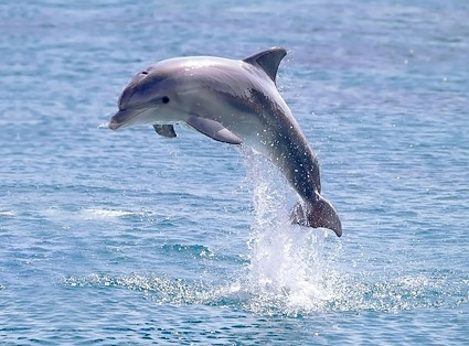 jumping dolphin picture