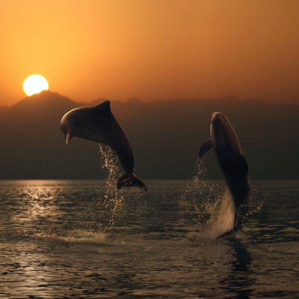 jumping dolphins 05 hd pictures
