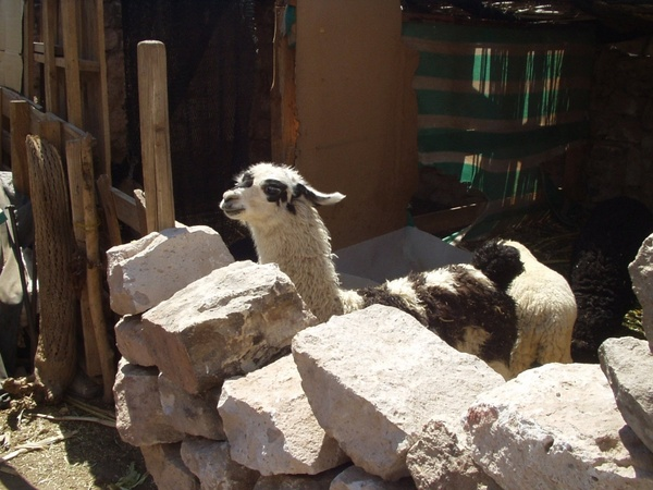lama animal livestock