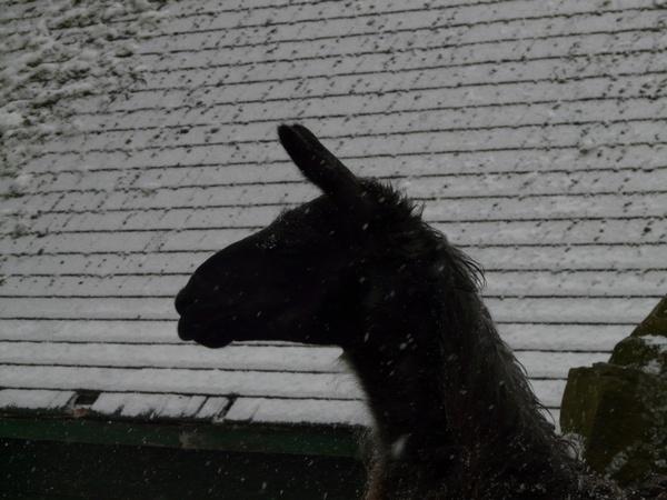 lama winter snow