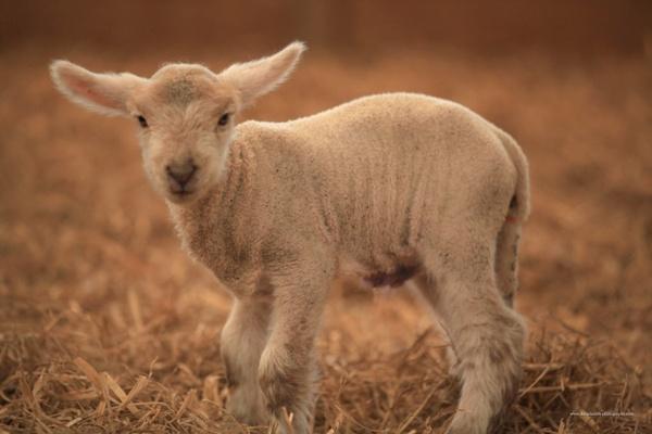 lamb looking into camera