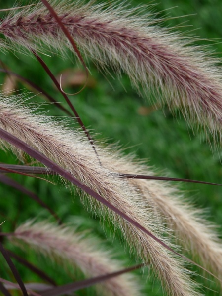 lamp cleaning er grass grass pennisetum alopecuroides