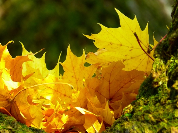 leaves colorful yellow