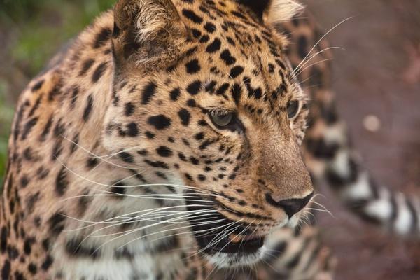 leopard looking