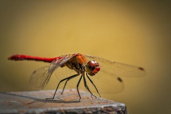 Leucorrhinia pectoralis swamp darter red dragonfly Free
