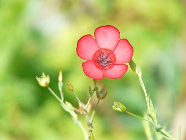 linum grandiflorum red lein flower