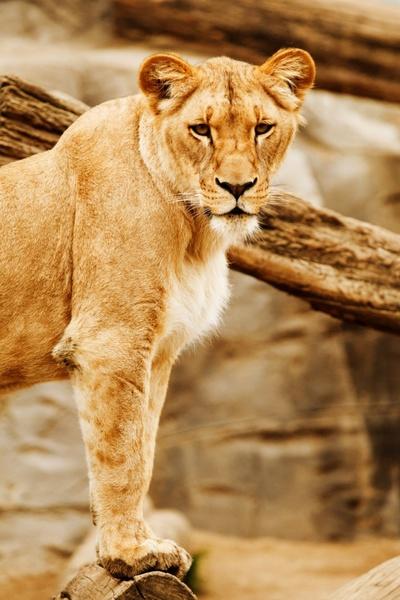 lion039s look