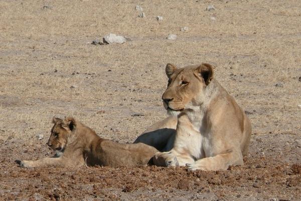 lion africa sleepy lion