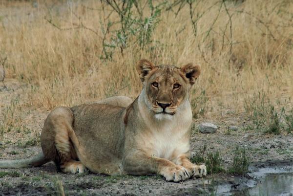 lion female cat