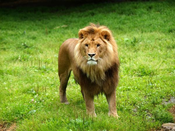 lion leeuw p7144603 vh
