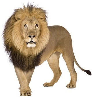 Lion Image Download For Free Free Stock Photos Download 67 937 Free